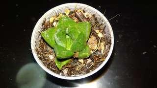Succulents 3 for $20 rare haworthia green jade