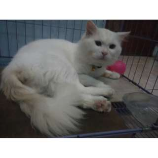 kucing persia medium full white