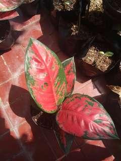 Bunga aglonema suksom