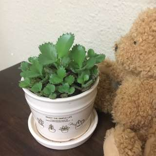 mother of millions plant