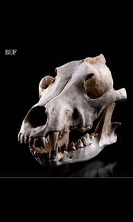 Wolf Skull Resin