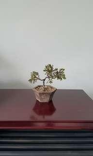 Small Mini Juniper Plant