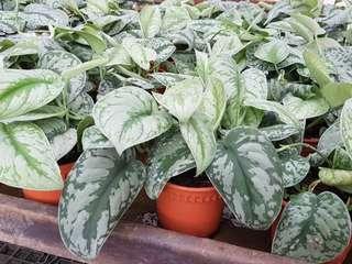 """Plant- : Scindapsus pictus """"Exotica"""" / Exotica Satin Pothos (12cm pot)"""