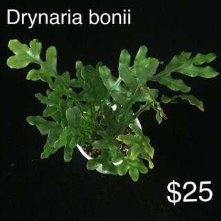 Drynaria bonii for sale