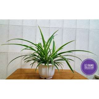 Spider Plants # Air-Cleaning Houseplants