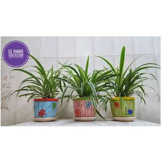 Spider Plants and Clean Air