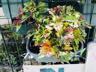 Mayana Plants