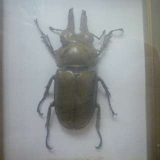 Bronze Golden Beetle Allotopus Rosenbergi