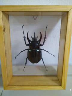 Beetle Taxidermy