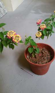 Plant Lantana