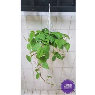 Heart leaf philodendron plant cleans air and filters toxins from the air.