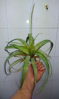 Air Plant flowering large