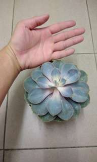 Echeveria blue queen Succulent super big
