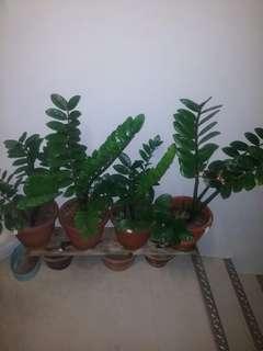 Many many zz plants (from $5)