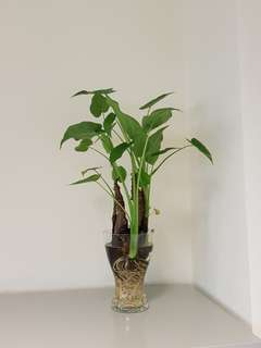 Dripping Guanyin Plants 滴水觀音 Indoor Plant/ Outdoor Plant/Aquarium Plant With/ without class vase