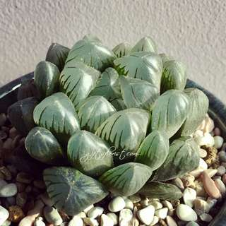Succulent Of The Month-Haworthia Obtusa / Haworthia Semiviva