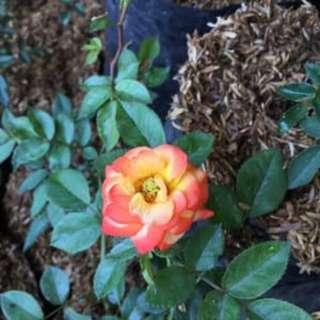 Mawar Rambat Orange
