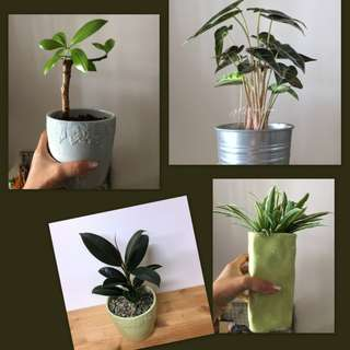 Indoor Foliage For Sale