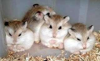 Hamster sepasang roborovski