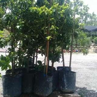 AVOCADO TREE (2.0m)