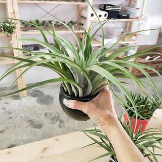 AIR PLANTS-CAPITATA PEACH