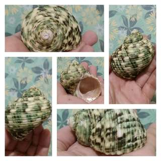 Turbo crassus seashell (more than 2 inches)