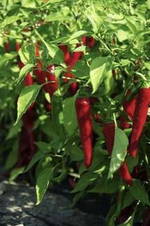 Gardening ♡ Pepper Cayenne Red Ember Pepper Seeds X 25