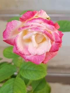 Rose in bloom again!