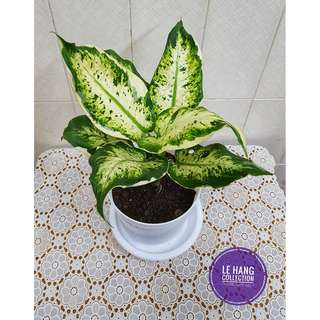 💝Beautiful Aglaonema Snow White 💝