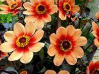 Gardening ♡ DAHLIA (HAPPY SINGLE™ DATE) SEEDS X 20