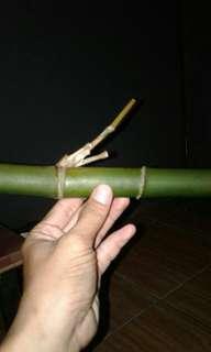 Bambu Ketemu Ruas Mata Tunggal
