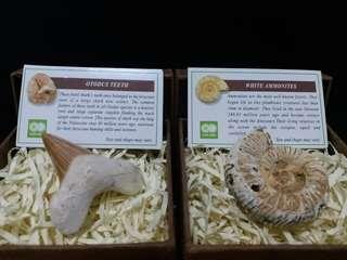 化石兩盒。Ammonites,Shark Teeth