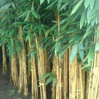 jual pohon bambu panda