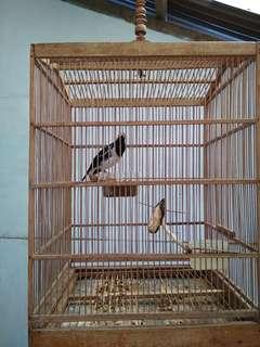 Burung jalak suren gacor