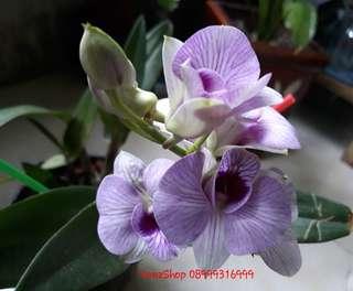 Dendrobium Larat dewasa