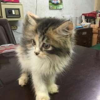 Kucing Persia Tortie & Calico, Betina 2,5 Bln, Banyak Bonus