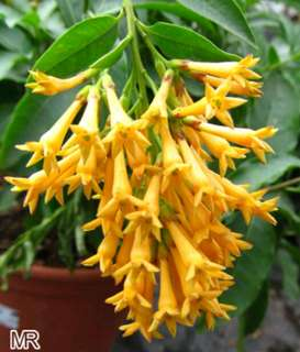 Pokok Sedap Malam Warna Kuning (Cestrum Nocturnum)