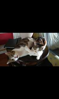 2 sibling cats for adoption