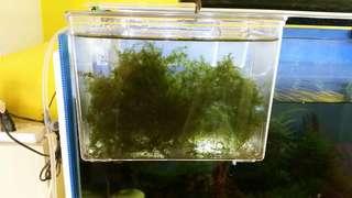 Fissidens Fontanus (US), free floating
