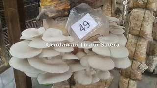 Cendawan Tiram Sutera DIY