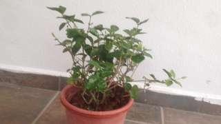 Bidara Plants (rare)