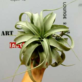 """NEW! 9"""" T. Xerographica Guatemala / Air plant/ curly"""