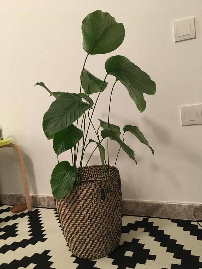 Plant With Fancy Pot Gardening Pots Planters On Carousell