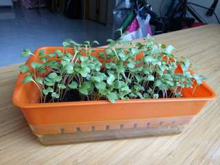 Microgreens Planting Tray