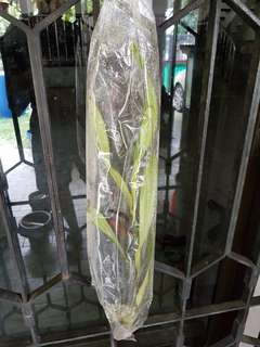 Nepenthes Gracillis cutting for terrarium carnivorous Pitcher Plant Cutting