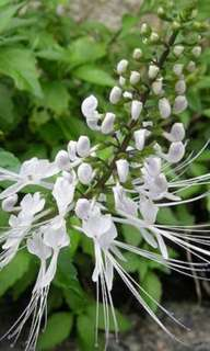 Clerodendranthus Spicatus 猫须草 中药草  Cat Whiskers Herbal Plantlet