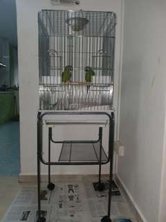 Dusky Headed Parrots Pair (Price is Negotiable)