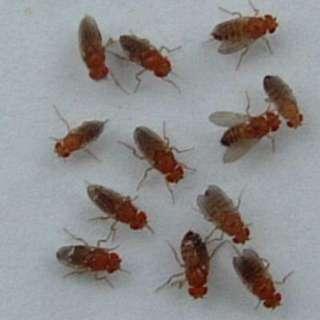 Flightless fruit flies D.hydei giant flies