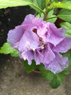 Purple multi layered petals hibiscus
