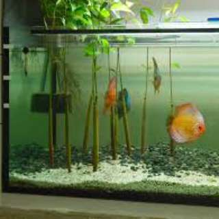 Red mangrove plant for fish tank